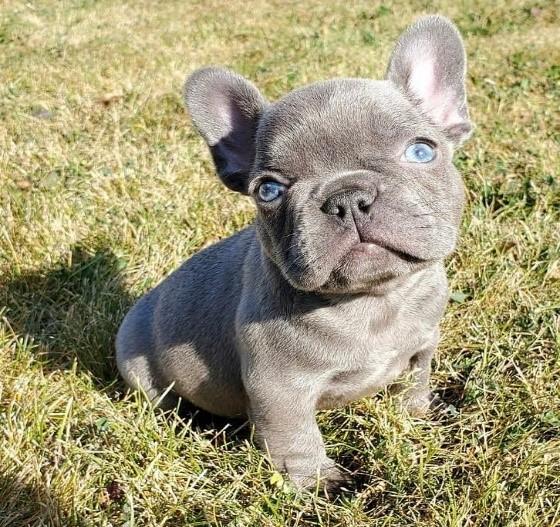 Bea french bulldog Puppy