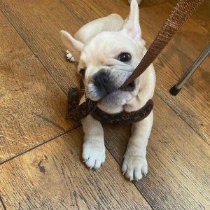 mandy-french-puppy